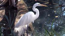 Great White Egret Stands In Water