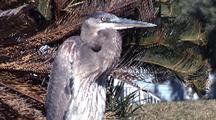 Great Blue Heron Enjoys Winter Sun