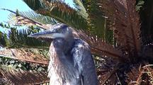 Great Blue Heron Preens, Enjoys Winter Sun