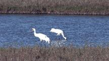 Whooping Cranes Wade And Feed