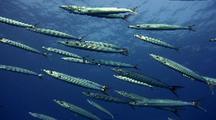Heller's Barracuda (Spyraena Helleri), Yellowtail Barracuda School Swims-Blue Water Behind