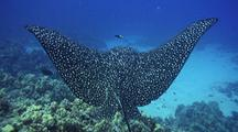 Spotted Eagle Ray Reacts To Nip By Cleaner Wrasse