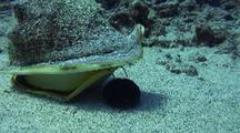 Hawaiian Helmet Shell (Cassis Cornuta) Chows Down On Pincushion Urchin
