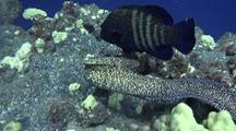 Peacock Grouper(Cephalopholis Argus)Hunts With White Mouth Moray(Spotted Moray)