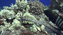 Peacock Grouper(Cephalopholis Argus)Hunts With White Mouth Moray(Gymnothorax Meleagris)