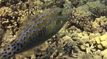 Scribbled Filefish(Aluterus Scriptus)Camouflaged, C/U,  Maneuvers To Feed