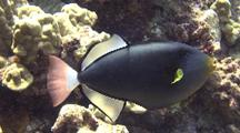 Pinktail Triggerfish(Melichthys Vidua)Looking For Food
