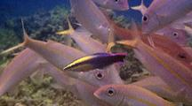 Yellowfin Goatfish(Mulloidichythys Vanicolensis)Line Up For Cleaning By Hawaiian Cleaner Wrasse(Labroides Phthirophagus)