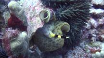 Triton's Trumpet (Charonia Tritonis) Emerges From Shell To Investigate Crown-Of-Thorns Sea Star(Acanthaster Planci)