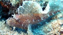 Leaf Scorpionfish(Taenianotus Triacanthus)Moves Like Namesake In Sand Next To Coralhead
