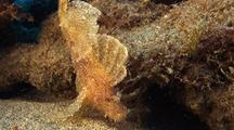 Leaf Scorpionfish(Taenianotus Triacanthus)Moves In Surge Next To Chain Link