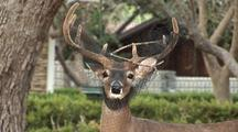 Whitetailed Buck(Odocoileus Virginianus)With Garden Netting Wrapped In Antlers