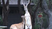 Whitetailed Deer (Odocoileus Virginianus) In Suburbs, Posturing-Buck On Hind Legs