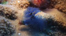 Close Up Beautiful Blue Christmas Tree Worm Slowly Emerging To Feed
