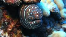 Zebra Moray Opens Mouth, Head Protruding From Coral