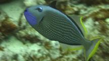 Male Gilded Triggerfish Shows Colorful Throat