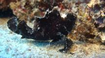 Leaf Scorpionfish Imitates Leaf - Moves In Surge