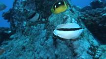 Pair Bandit Angelfish Feed On Deep Coral Reef