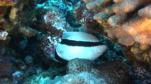 Bandit Angelfish Feeds On Coral Polyps