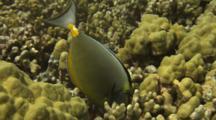 Orange-Spine Surgeonfish Feeds On Coral Algae, Close