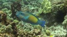 Male Parrotfish Feeds On Coral