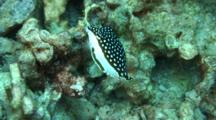Whitley´S Boxfish, Female Feeds Algae, Looks At Camera