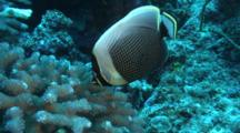 Reticulated Butterfly Fish Feeds On Cauliflower Coral