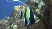 Moorish Idol, Long Trailing Dorsal, Feeds Algae Lava Pinnacle