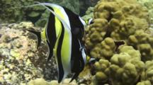 2 Moorish Idols Feed On Lobe Coral Algae