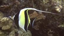 Moorish Idol Swims Among Finger And Lobe Coral