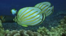 Pair Ornate Butterflies Swim Along Coral, Face Camera