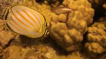 Single Ornate Butterfly Feeds On Lobe Coral Algae
