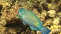 Parrotfish Feeds On Coral, Loud Crunches