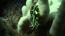 Tiger Flatworm Drifts To Finger Coral, Moves Over Coral