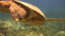 Male Green Sea Turtle Slowly Descends Above Camera, Barnacles