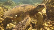 Green Sea Turtle, Close To Coral, Drifts With Surge