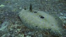 Peacock Flounder Slowly Leaves Rock, Swims To Reef Below