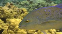 Bluefin Trevally Swims Back And Forth Over Coral, C/U