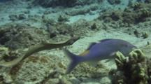 Moray Eel Swims With Grouper And Goatfish