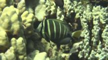 Sailfin Tang Feeds Leisurely On Lobe Coral
