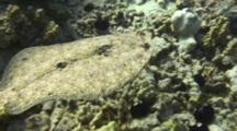 Camera Follows Close Behind Undulating Peacock Flounder