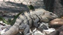 Large Iguana Crawls Over Storm Debris,Isla Mujeres. Bobs Head Up And Down
