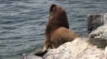 South American Sea Lion On Rock Jetty