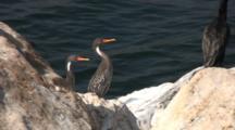 Pair Red-Legged Cormorants At Water´S Edge