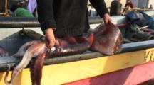 Commercial Fisherman Showing Size Of Humboldt Squid