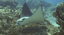 Spotted Eagle Ray (Aetobatus Narinari)C/U,  Surprised At Camera Nearby
