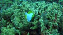 Pyramid Butterfly Swims Back And Forth Close To Camera