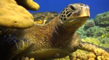 Green Sea Turtle At Cleaning Station, Resting On Coral
