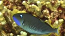 Male Gilded Triggerfish Swims Close To Coral-Good Light