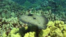 Peacock Flounder, Close To Camera, Skims Over Reef